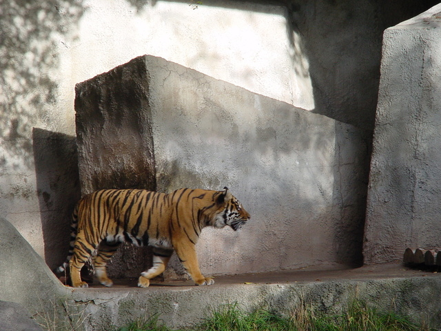 This image has an empty alt attribute; its file name is pacing-tiger-1364377-640x480-1.jpg